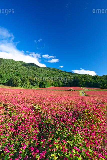 赤ソバの里の花畑の写真素材 [FYI03371431]