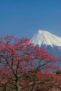 赤い梅の花と富士山の写真素材 [FYI03371460]