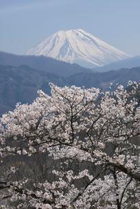 桜と富士山の写真素材 [FYI03371475]