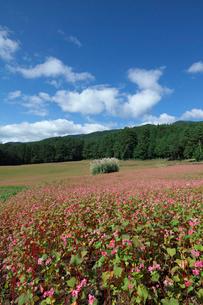 赤ソバの花畑の写真素材 [FYI03371483]