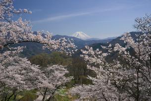 桜と富士山の写真素材 [FYI03371498]