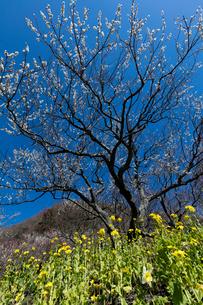 梅の花と菜の花の写真素材 [FYI03371522]