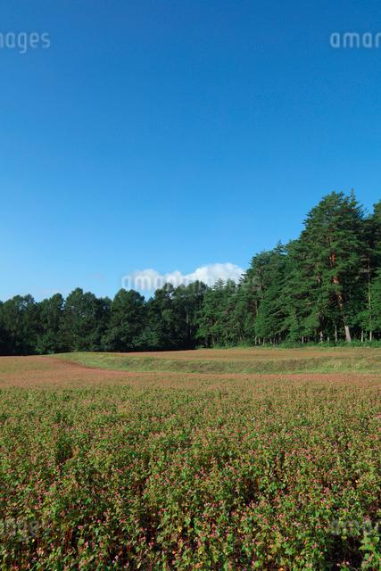 赤ソバの花畑の写真素材 [FYI03371537]
