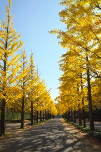 イチョウ並木の黄葉の写真素材 [FYI03371542]