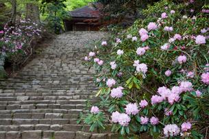 シャクナゲ咲く室生寺 鎧坂の写真素材 [FYI03371558]