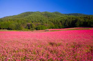 赤そば畑の写真素材 [FYI03371572]