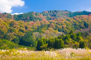 巻向山を背にススキが揺れる山の辺の道の写真素材 [FYI03371597]