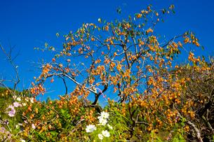 柿が実る斑鳩の里の写真素材 [FYI03371620]