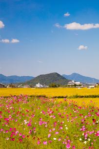 畝傍山と二上山を背に咲くコスモスと実る稲田の写真素材 [FYI03371753]
