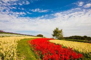 サルビヤ花畑の写真素材 [FYI03371803]