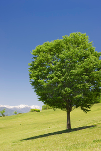 一本の木と北アルプスの写真素材 [FYI03371856]