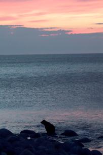 夕陽とヒグマの写真素材 [FYI03371994]