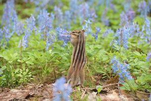 花の水をなめるシマリスの写真素材 [FYI03372009]