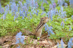 花の水をなめるシマリスの写真素材 [FYI03372019]