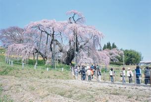 三春の滝桜の写真素材 [FYI03372901]