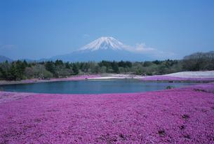 富士山と芝桜の写真素材 [FYI03372902]
