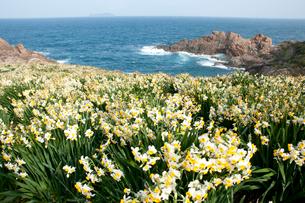 スイセンの咲く海岸の写真素材 [FYI03373193]