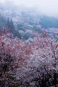 吉野山中千本のサクラの写真素材 [FYI03373808]