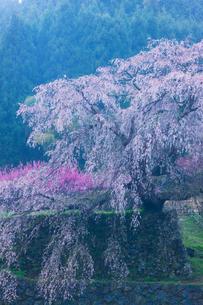 本郷の瀧桜(又兵衛桜)の写真素材 [FYI03373810]
