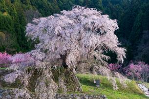 本郷の瀧桜(又兵衛桜)の写真素材 [FYI03373813]
