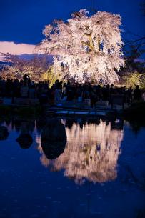 円山公園のサクラの写真素材 [FYI03373850]