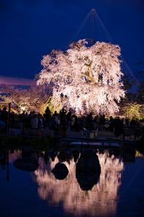 円山公園のサクラの写真素材 [FYI03373853]