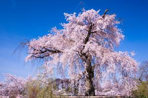 円山公園のサクラの写真素材 [FYI03373861]