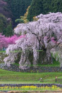 本郷の瀧桜の写真素材 [FYI03373969]
