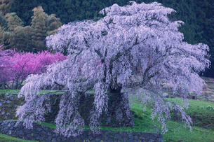 本郷の瀧桜の写真素材 [FYI03373978]