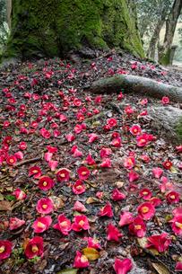 花尻の森の落椿の写真素材 [FYI03374009]