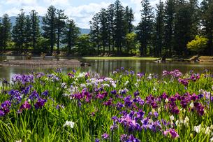 あやめ咲く毛越寺庭園の写真素材 [FYI03374099]