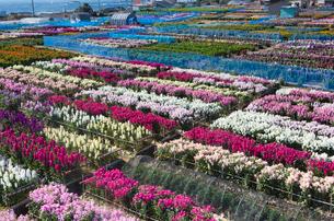 南房総千倉の花畑を畔道より望むの写真素材 [FYI03374261]