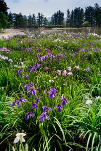 あやめ咲く毛越寺庭園の写真素材 [FYI03374274]