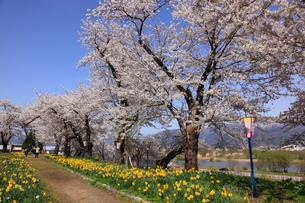 飯山城址公園の桜とスイセンの写真素材 [FYI03374356]