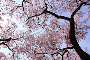 高遠城址公園の桜の写真素材 [FYI03374357]