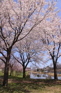 針湖池の桜の写真素材 [FYI03374359]