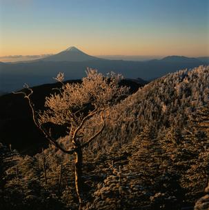 国師ヶ岳の霧氷と朝焼けの富士山の写真素材 [FYI03374465]