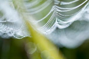 蜘蛛の糸を彩る朝露の滴の写真素材 [FYI03374501]