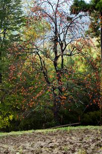 晩秋の柿と荒起こしの田んぼの写真素材 [FYI03374556]