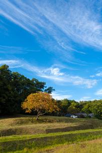 紅葉する柿ノ木と青空の写真素材 [FYI03374586]