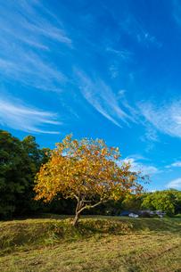 紅葉する柿ノ木と青空の写真素材 [FYI03374590]