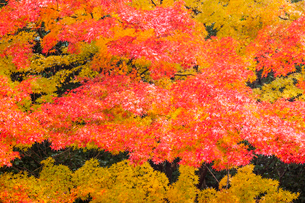 艶やかなモミジの紅葉の写真素材 [FYI03374627]