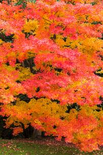 艶やかなモミジの紅葉の写真素材 [FYI03374629]