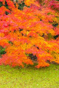 艶やかなモミジの紅葉の写真素材 [FYI03374637]