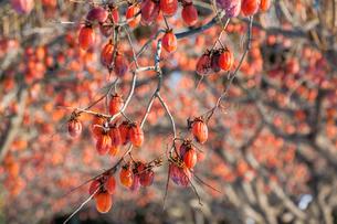 たわわに実る熟柿の写真素材 [FYI03374648]