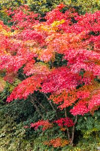 艶やかに紅葉するモミジの写真素材 [FYI03374653]
