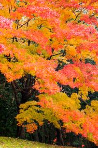 艶やかなモミジの紅葉の写真素材 [FYI03374655]