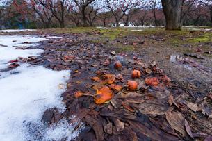 地に落ちた熟柿の写真素材 [FYI03374659]
