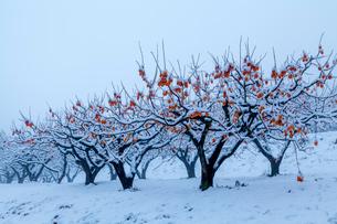 熟柿残る冬の柿畑の写真素材 [FYI03374683]