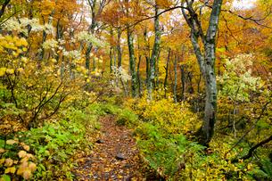 黄葉のブナ林の写真素材 [FYI03374693]